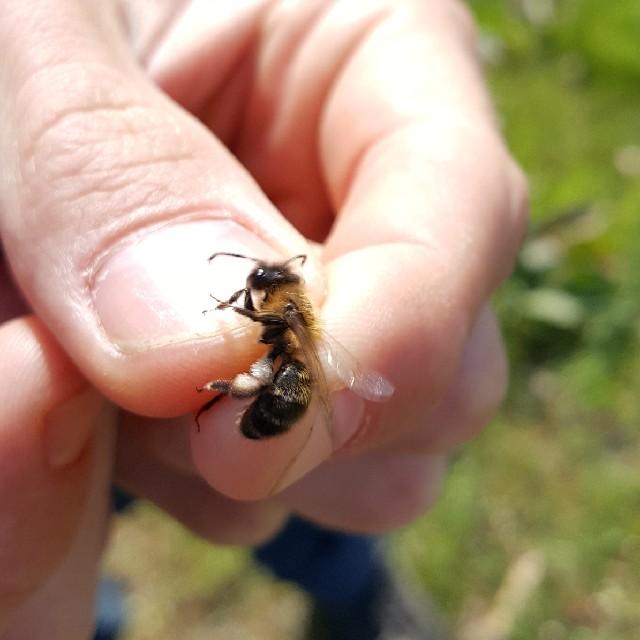 Foto/billede af Tjørnejordbi (Andrena carantonica)