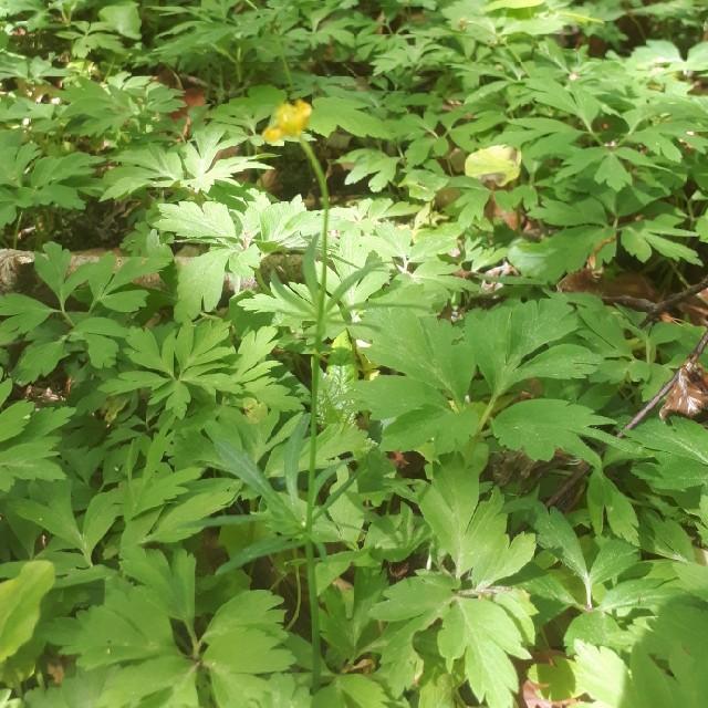 Foto/billede af Nyrebladet Ranunkel (Ranunculus auricomus)