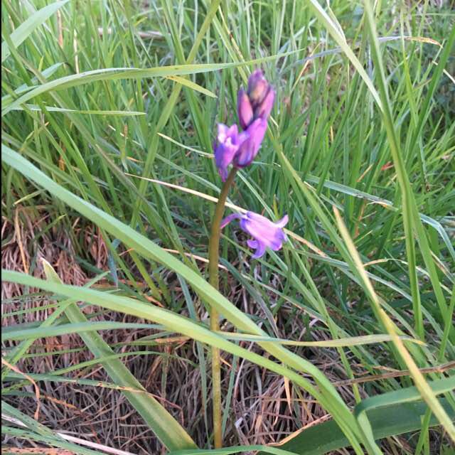 Foto/billede af Liden Klokke (Campanula rotundifolia)
