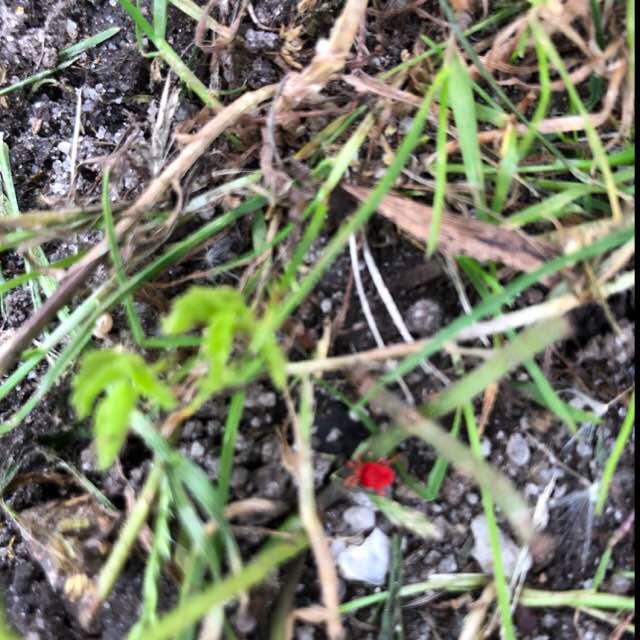 Foto/billede af Rød Jordmide (Trombidium holosericeum)