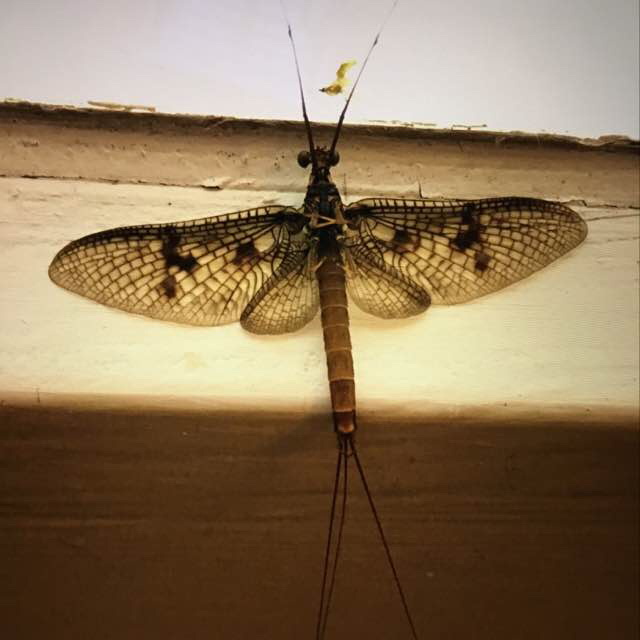 Foto/billede af Majflue sp. (E. danica/vulgata) (Ephemera sp.)