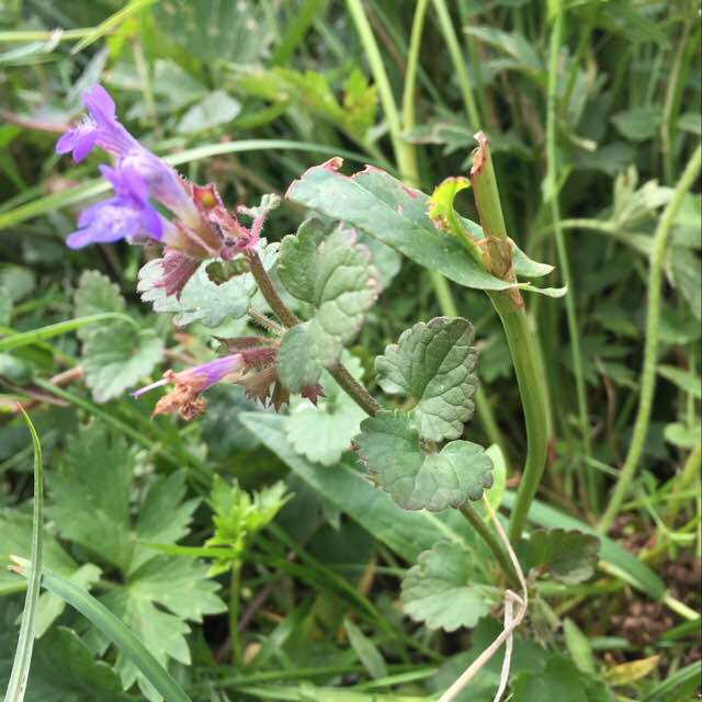 Foto/billede af Korsknap (Glechoma hederacea)