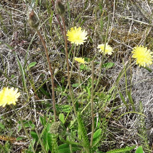 Foto/billede af Håret Høgeurt (Pilosella officinarum)