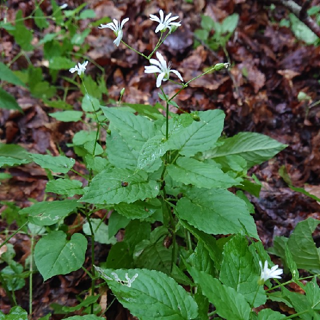 Foto/billede af Lund-Fladstjerne (Stellaria nemorum)