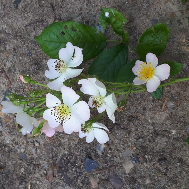 Foto/billede af Mangeblomstret Rose (Rosa multiflora)