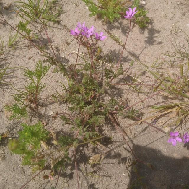Foto/billede af Hejrenæb (Erodium cicutarium)