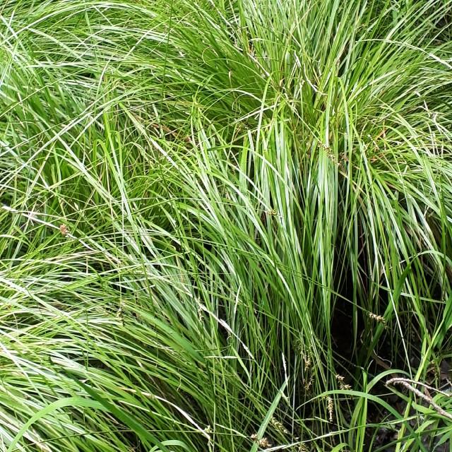 Foto/billede af Forlænget Star (Carex elongata)