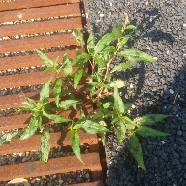 Foto/billede af Fersken-Pileurt (Persicaria maculosa )