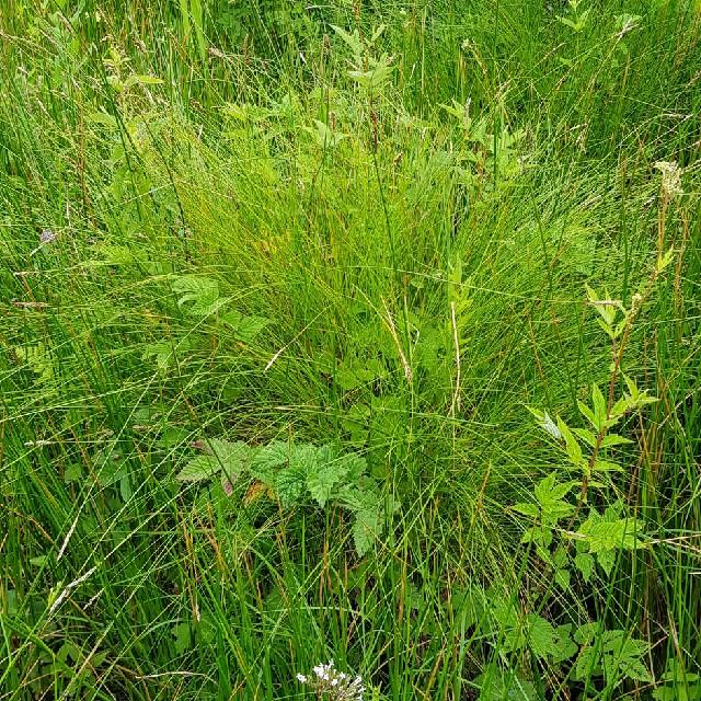 Foto/billede af Langakset Star (Carex appropinquata)