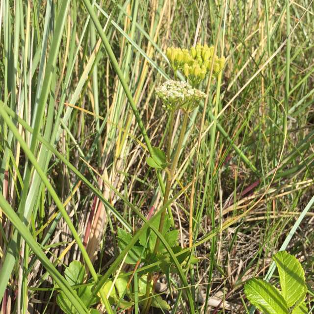Skotsk Lostilk (Ligusticum scoticum)