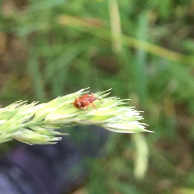 Foto/billede af Anthonomus pedicularius (Anthonomus pedicularius)