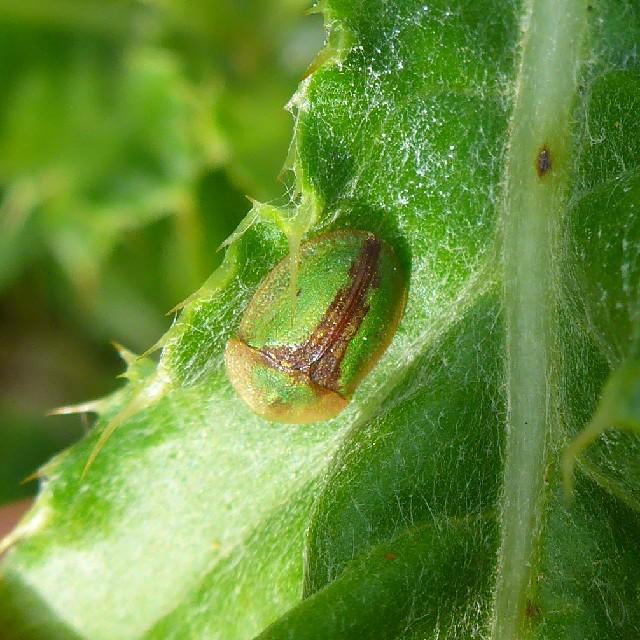 Foto/billede af Cassida vibex (Cassida vibex)