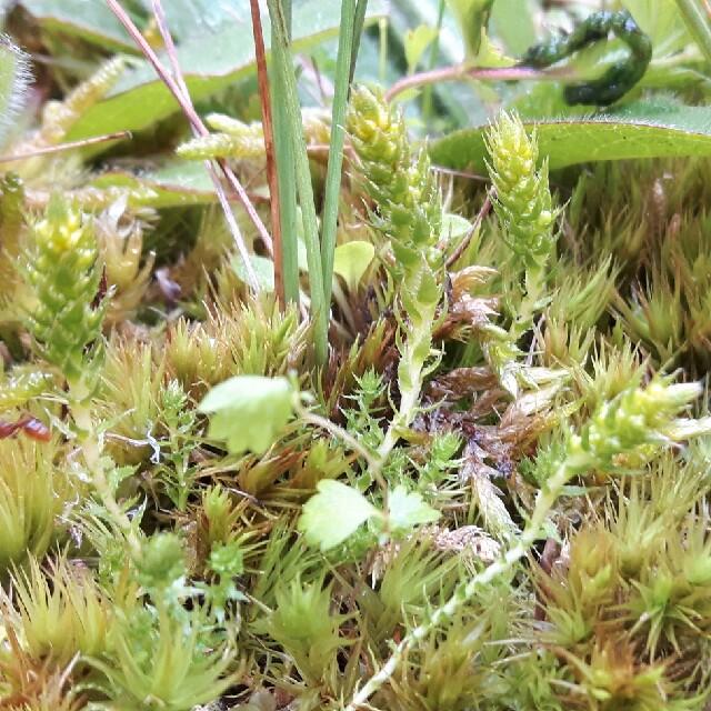 Foto/billede af Dværgulvefod (Selaginella selaginoides)