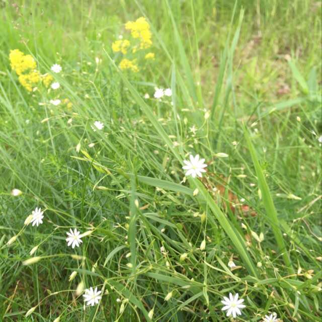 Foto/billede af Græsbladet Fladstjerne (Stellaria graminea)