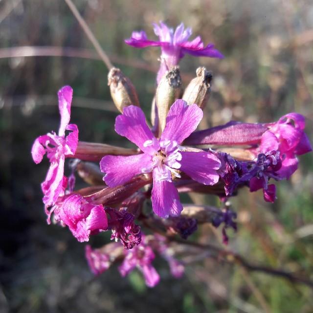 Foto/billede af Tjærenellike (Viscaria vulgaris)