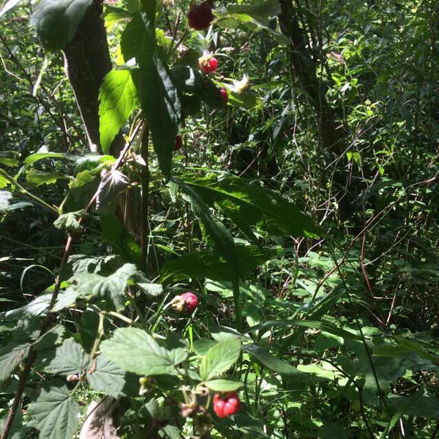 Foto/billede af Hindbær (Rubus idaeus)