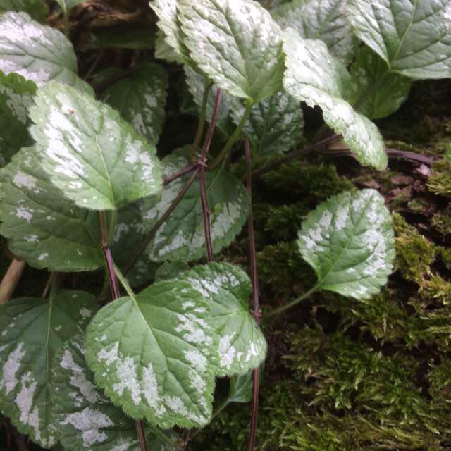 Foto/billede af Have-Guldnælde (Lamiastrum galeobdolon ssp. argentatum)