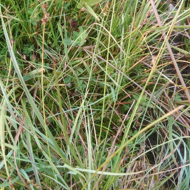 Foto/billede af Stjerne-Star (Carex echinata)