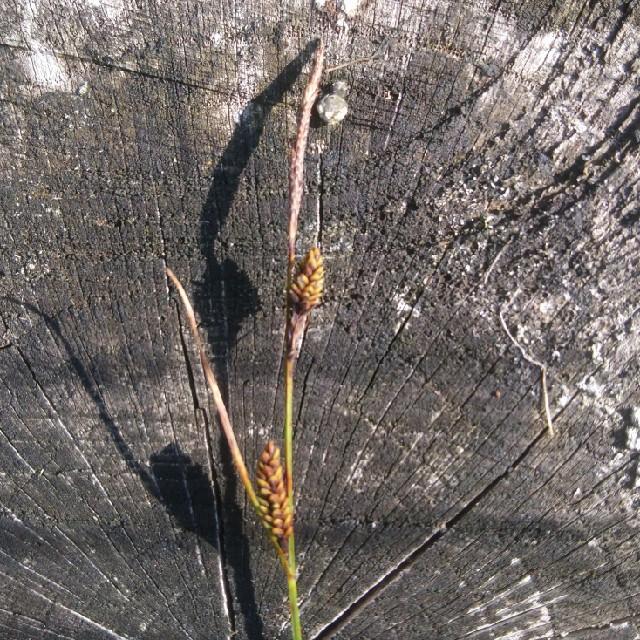 Foto/billede af Almindelig Star (Carex nigra var. nigra)