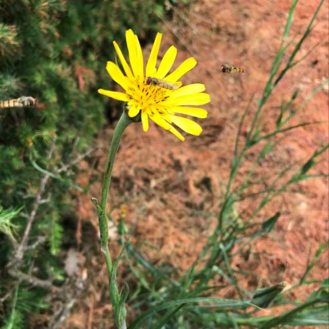 Foto/billede af Gedeskæg s.l. (Tragopogon pratensis s.l.)