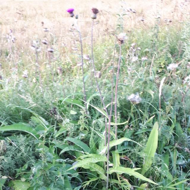 Foto/billede af Forskelligbladet Tidsel (Cirsium heterophyllum )
