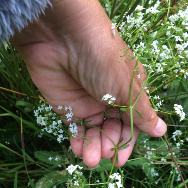 Foto/billede af Kær-Snerre (Galium palustre ssp. palustre)