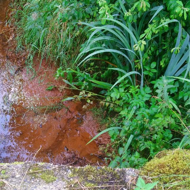 Foto/billede af Hyldebladet Baldrian (Valeriana sambucifolia ssp. sambucifolia)