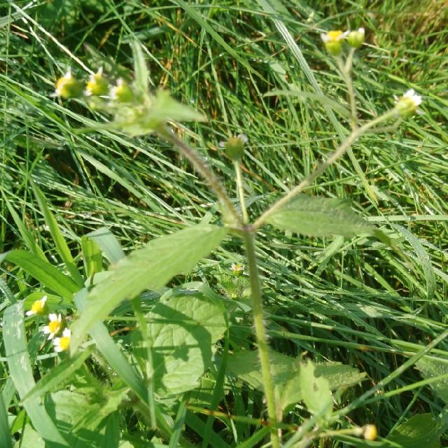 Foto/billede af Håret Kortstråle (Galinsoga parviflora)