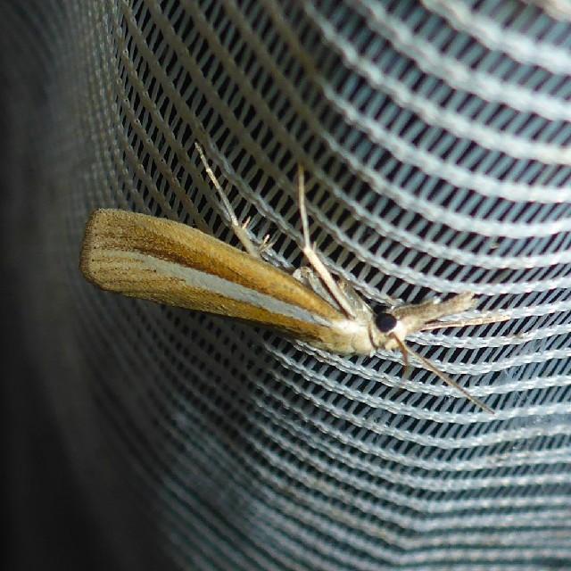 Foto/billede af Agriphila selasella (Agriphila selasella)