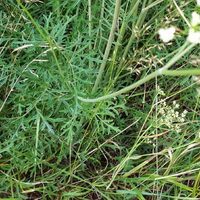 Foto/billede af Seline (Selinum carvifolia)