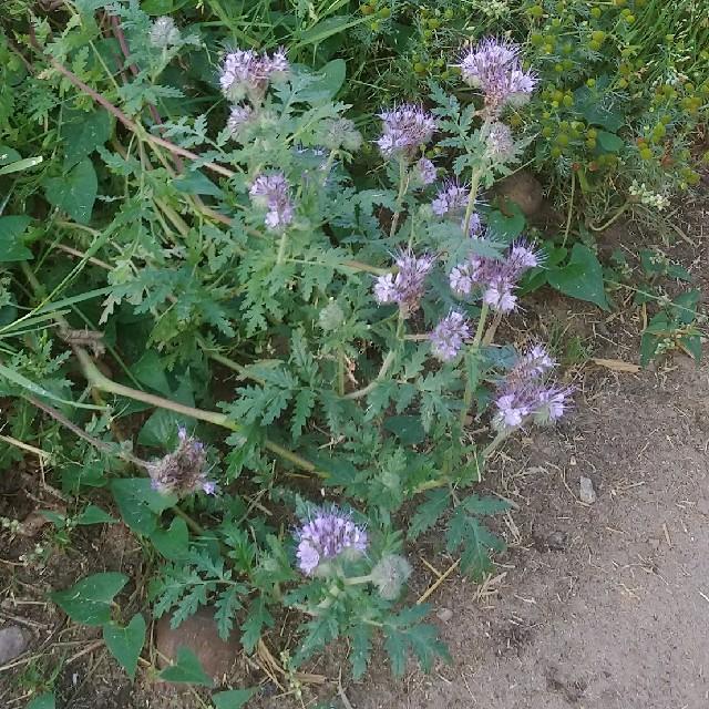 Foto/billede af Honningurt (Phacelia tanacetifolia)