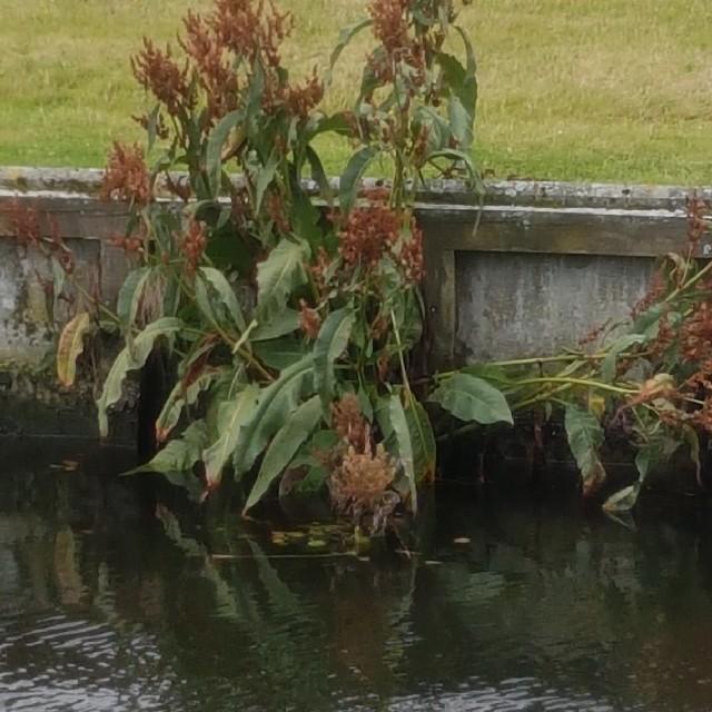 Foto/billede af Vand-Skræppe (Rumex hydrolapathum)