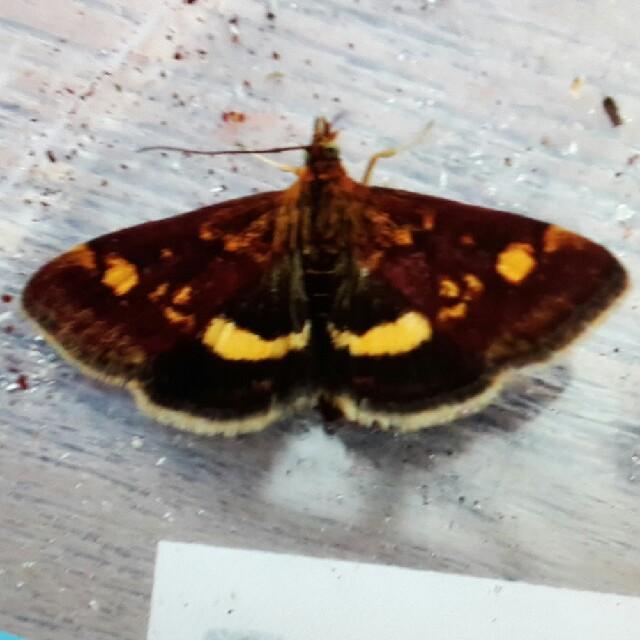 Foto/billede af Pyrausta sp. (Pyrausta sp.)