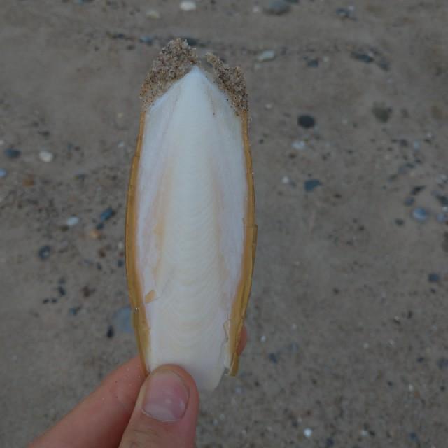 Sepiablæksprutte (Sepia officinalis)
