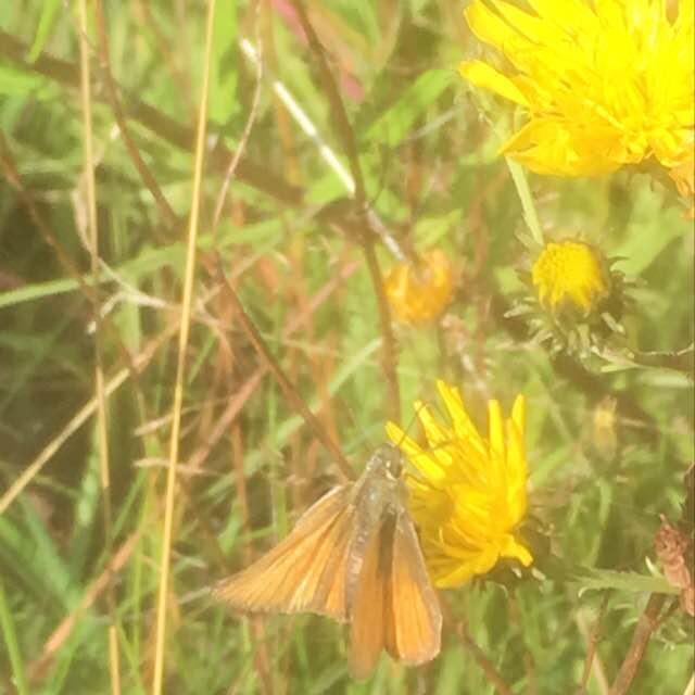 Foto/billede af Skråstregbredpande/Stregbredpande (Thymelicus sylvestris/Thymelicus lineola)