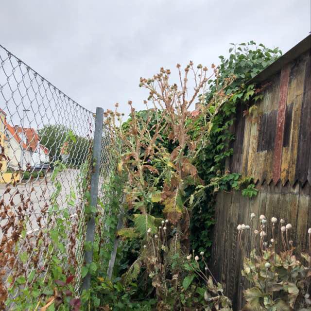 Foto/billede af Æselfoder (Onopordum acanthium)