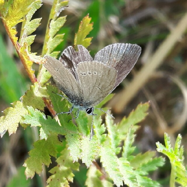 Foto/billede af Dværgblåfugl (Cupido minimus)