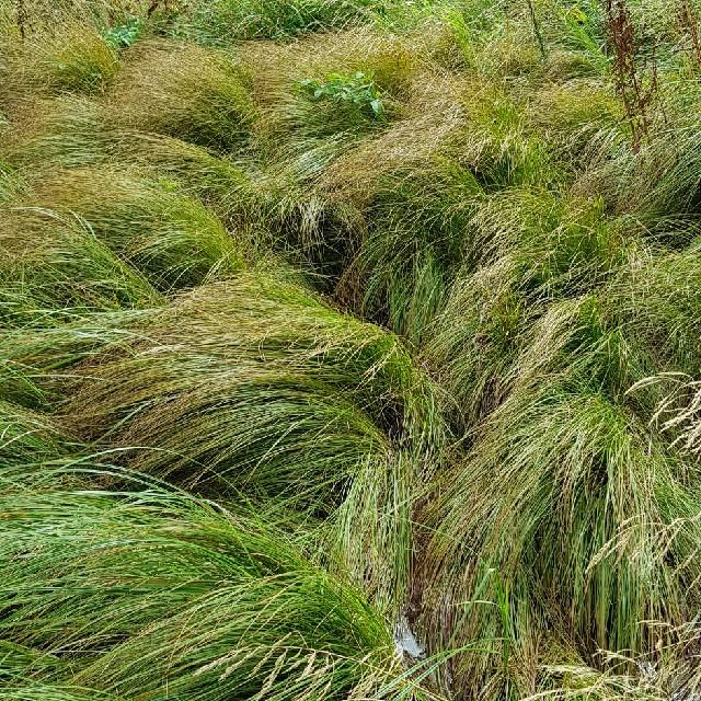 Foto/billede af Knold-Star (Carex nigra var. recta)
