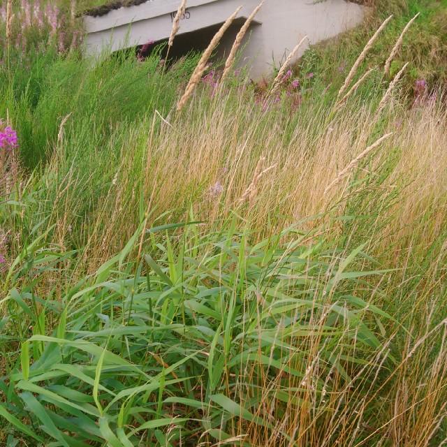 Foto/billede af Rørgræs (Phalaris arundinacea)