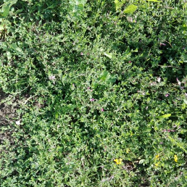 Foto/billede af Mark-Krageklo (Ononis spinosa ssp. spinosa)