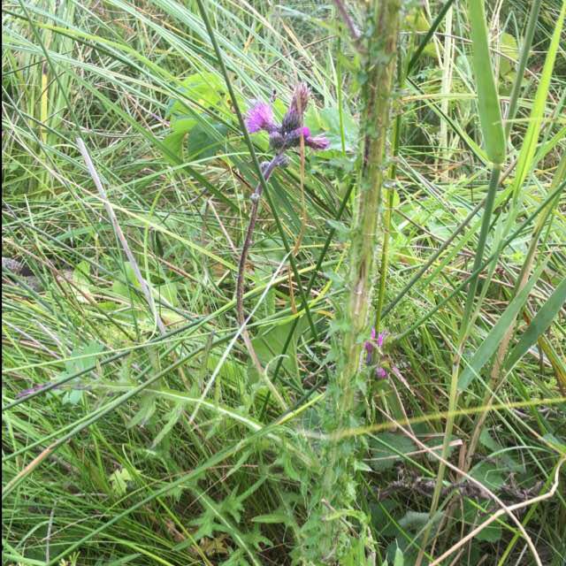 Foto/billede af Kær-Tidsel (Cirsium palustre)