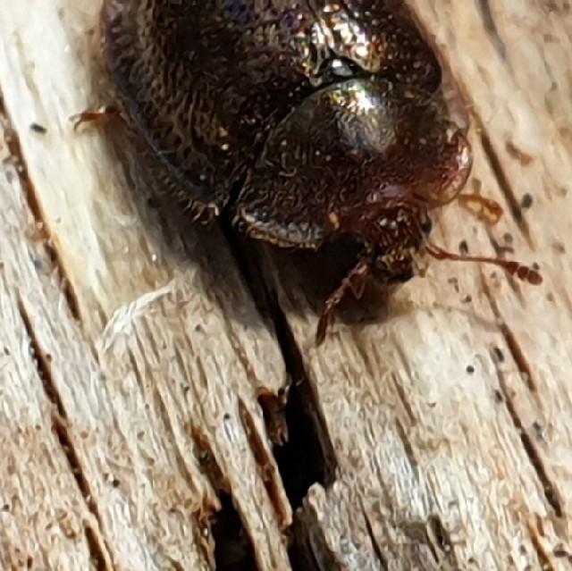 Foto/billede af Falsk Skjoldbille (Thymalus limbatus)