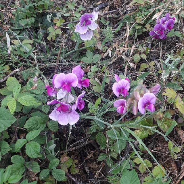 Foto/billede af Skov-Fladbælg (Lathyrus sylvestris)