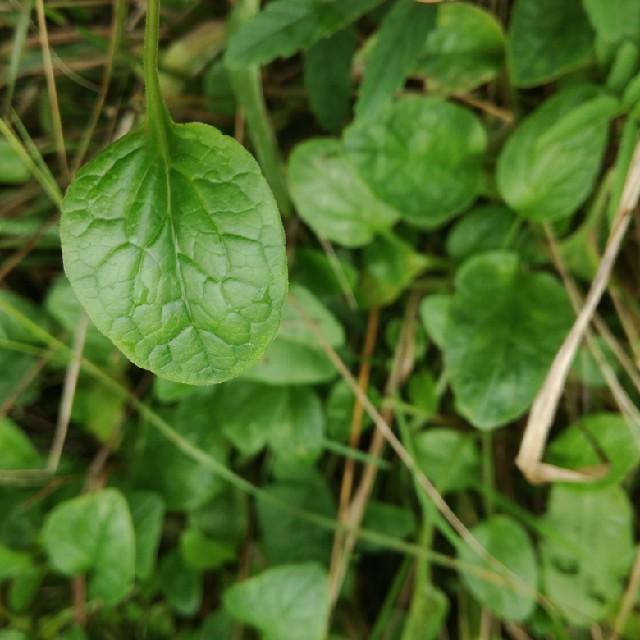 Foto/billede af Tvebo Baldrian (Valeriana dioica)