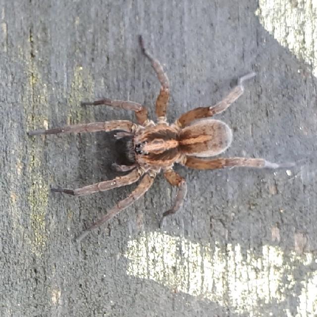 Foto/billede af Trochosa ruricola (Trochosa ruricola)
