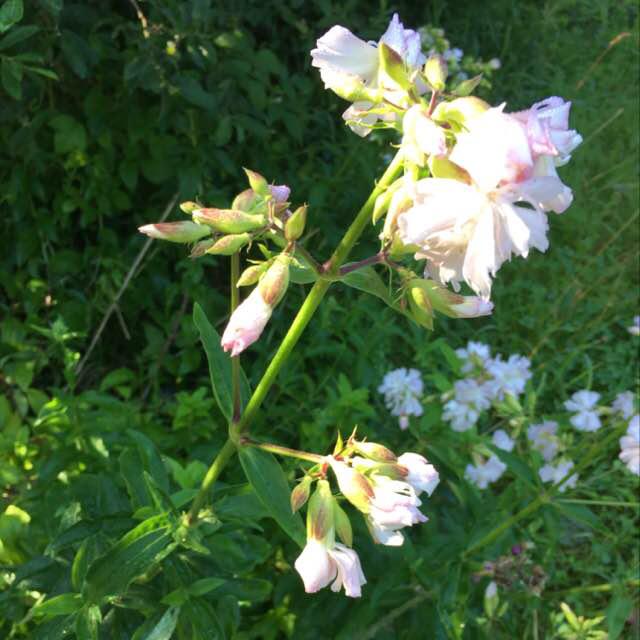Foto/billede af Sæbeurt (Saponaria officinalis)