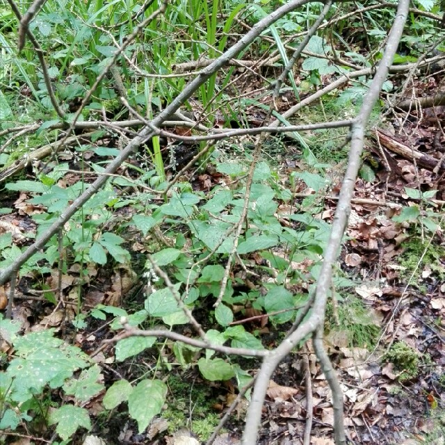 Foto/billede af Dunet Steffensurt (Circaea lutetiana)