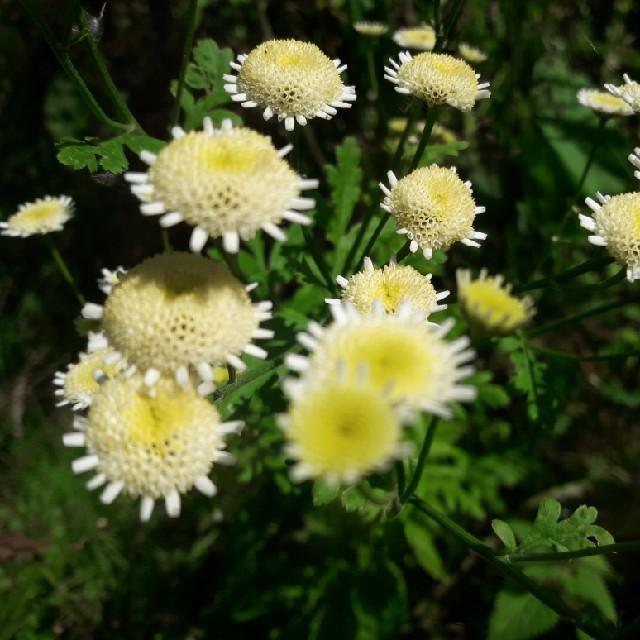 Foto/billede af Matrem (Tanacetum parthenium)