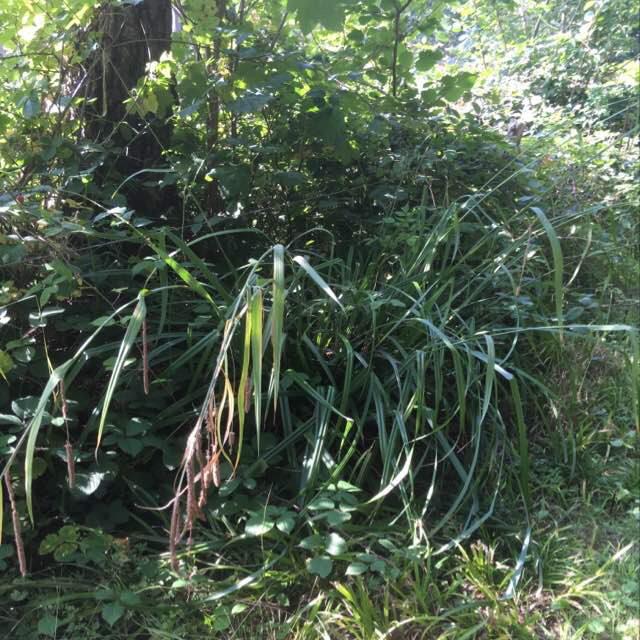 Foto/billede af Kæmpe-Star (Carex pendula)