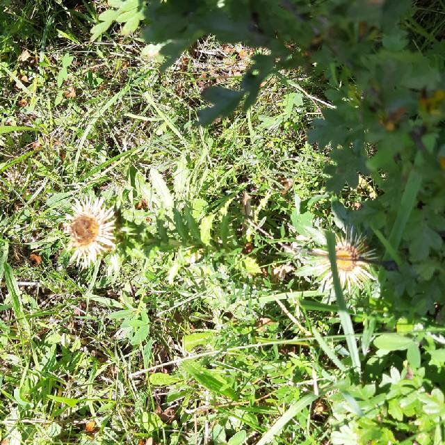 Foto/billede af Almindelig Bakketidsel (Carlina vulgaris)